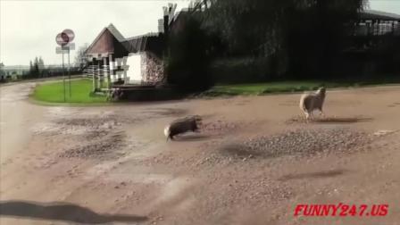 獾可不是好惹的  怒了谁也拦不住