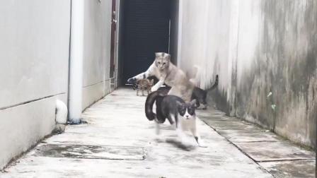 小猫展示飞跃绝技, 成功避开同伴围追堵截!
