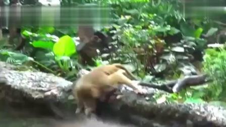 动物世界: 实拍多才多艺的猴子, 可爱又萌的表演...