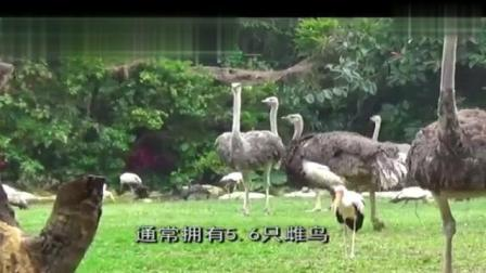 动物世界: 野外实拍世界上最大的鸟, 身高2.5米, 重300斤!