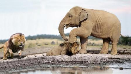 狮子放倒玩耍的小象, 象群看到后愤怒了, 大象: 今天你们都别想走