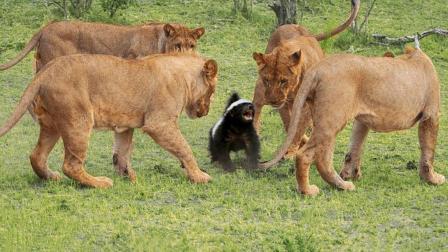 这是一只不太正经的平头哥, 没事爱去招惹狮子, 下场就只有一个