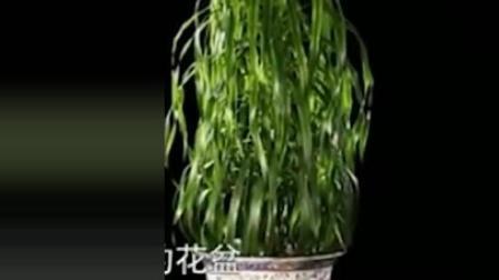 七百块钱买来一盆草, 专家一看两眼直放光, 估价后多少钱都不卖