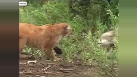 高清 动物世界大战 老虎 狮子 猎杀大全 发动攻击的瞬间精彩视频