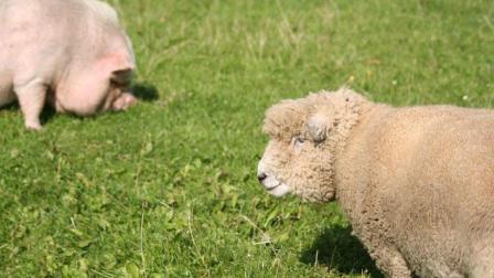 羊和猪打起来了, 看了3遍!