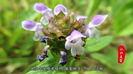夏天盛开的花朵, 夏枯草的故事和功效, 您知道吗?