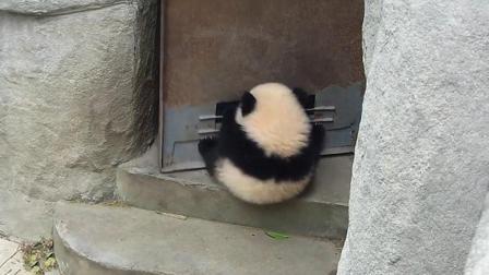 """熊猫宝宝""""挂""""在门上, 奶妈开门查看, 这举动笑翻众人"""