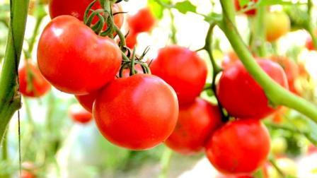 如何种植圣女果, 阳台养几棵小西红柿, 像葡萄一样一结一大串!