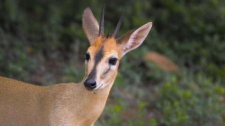 动物世界: 春天是动物繁殖的季节, 看看小羚羊是怎么繁衍后代的