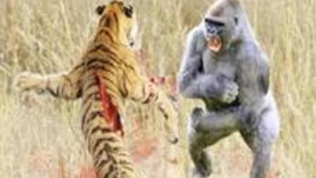 最强战斗力! 银背大猩猩10招之内干掉狮子, 却被老虎一掌拍死!