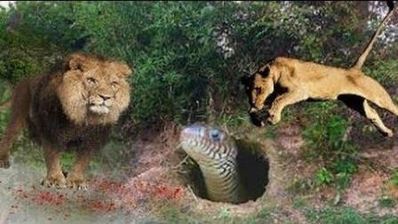 狮子与蛇的对垒, 蛇与蛇的斗争, 花豹与蛇的撕杀