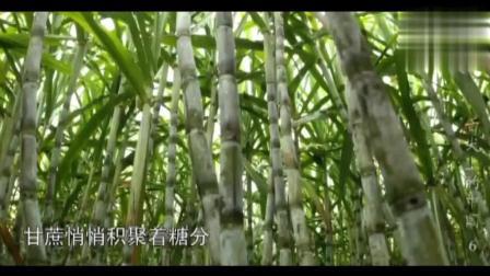 《舌尖上的中国》岭南美食探秘, 甘蔗冬季水果之一, 既营养又甜味