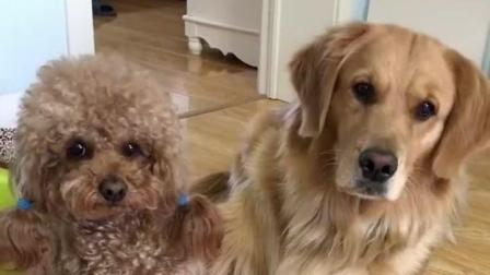 主人让金毛在泰迪和玩具之间选一个, 金毛的反应好有爱