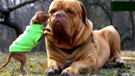 盘点世界上最大的巨型犬, 家里养一只太霸气了!
