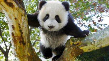 他拍下2000张野生大熊猫萌照, 被作为国礼送给全世界