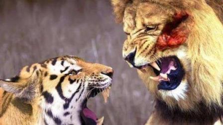 老虎狮子大战, 动起真格来, 狮子还真不是对手!