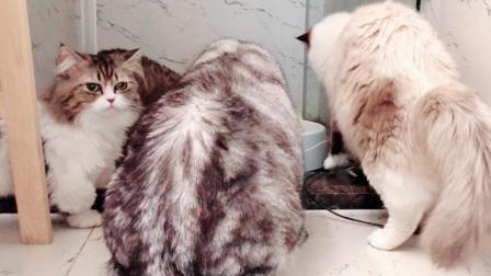 看到主人不在, 猫咪们开启了疯狂搞事模式, 没想到布偶猫还是个老戏骨
