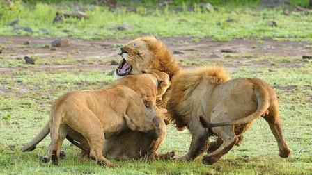 狮群之间起内讧, 雄狮联盟和狮王决战到底, 难得一见的画面!