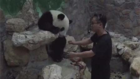 大熊猫一定要抱抱才肯下来, 自己多重, 没点数吗?