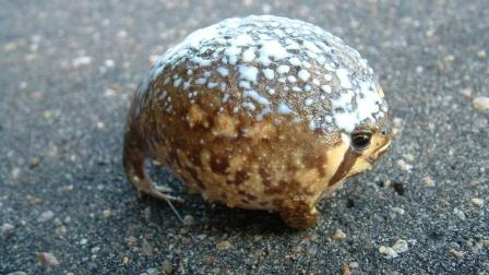 世界上最奇葩的青蛙, 一不小心会气炸, 网友: 蛤蟆功?