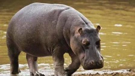 凶狠的水中霸王鳄鱼, 为什么不吃河马? 大象的死亡地带!