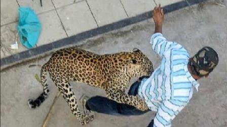 众人正在围捕花豹, 发现不对劲跑已经晚了, 村民拍下全过程