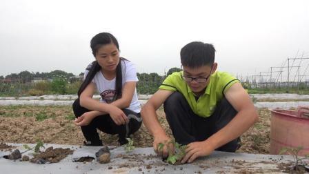 一群大学生回乡下当新农人, 农场搞得热火朝天, 今天种圣女果啦