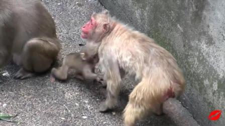 两只小猴子打架, 为了小猴子, 两只母猴子也干起来了!