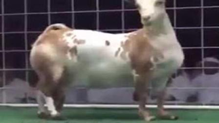 世界上最大的羊, 长得就像一头牛!