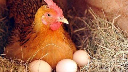 母鸡看到鸡蛋被拿走, 为什么不生气? 说出来你都不敢信