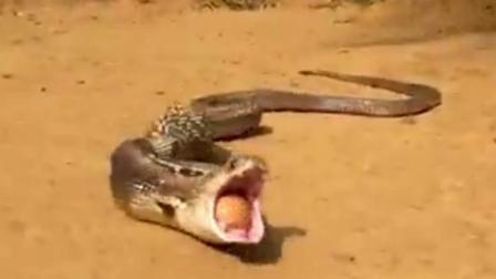 蛇把吃进去的鸡蛋, 一个接着一个吐了出来, 这就是贪婪的后果!