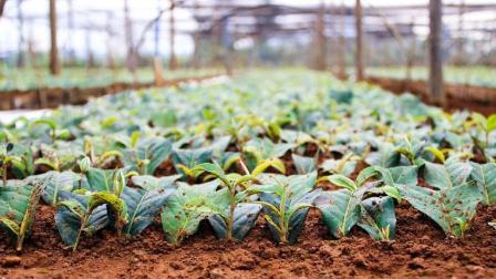 茶农栽培培育茶树苗 采取短穗扦插方法介绍