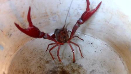 去钓小龙虾 来吃