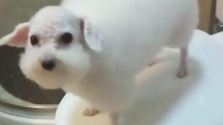 抖音物种变异是羊还是狗