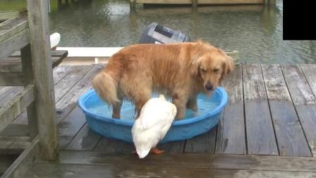 金毛占了鸭子水盘, 接下来打起来了