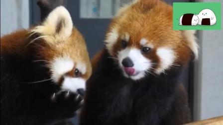 小熊猫: 早晨要好好梳洗打扮, 后面像不像在打粉底的你