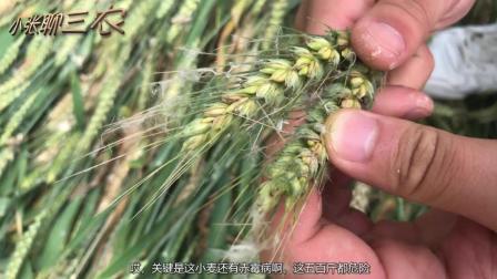 """小麦得""""病""""比去年""""更凶"""", 粮食大量减产, 为小麦何赤霉病频发"""