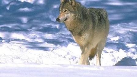 西伯利亚狼王带领群狼, 狙击掉入狼窝的大黑熊, 黑熊皮开肉绽