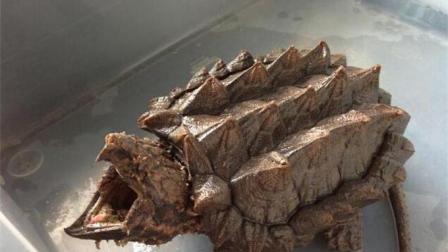 乌龟中的霸王龙, 咬合力比熊还高, 超过910斤, 堪称世界上最凶的龟!