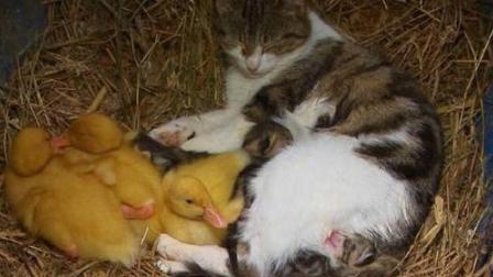 猫咪照顾一群没妈疼的小鸭子,含着怕化了,捧着怕坏了