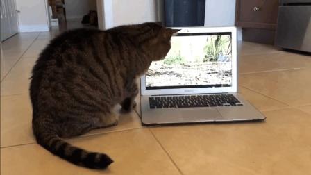 搞笑的猫咪, 你这是迷上电脑了啊! 盯着电脑屏幕眼睛都不眨一下