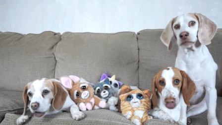 小猎犬们过生日了, 主人给它们准备了一桌丰盛的午餐, 把狗狗们乐坏了