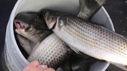 男子撒网捕鱼技术高超, 一网下去这么多鱼