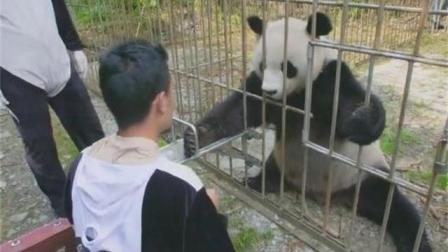 被放生在野外的大熊猫主动伸手让工作人员抽血, 外国小朋友看呆了!