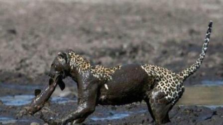 豹子逮住一条鲶鱼, 当它一口咬上去却后悔了, 想松口却没有给机会