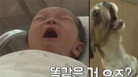 狗狗天天在家学婴儿的哭声, 主人超宠爱它!