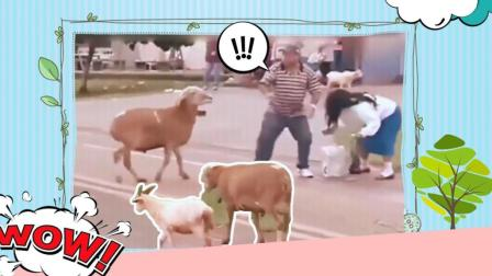 方言爆笑配音: 山羊疯狂顶路人, 笑死人不偿命哈哈哈哈哈哈!
