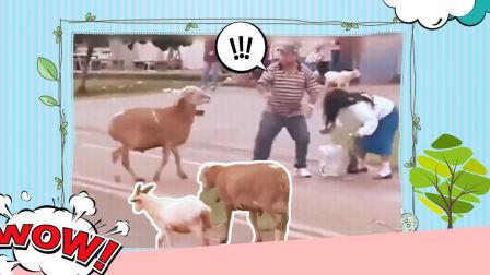 方言爆笑配音:山羊疯狂顶路人,笑死人不偿命哈哈哈哈哈哈!