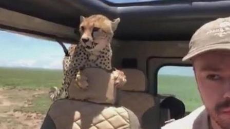 小伙不关车窗被猎豹扑进车内, 外国人少果然是有原因的!