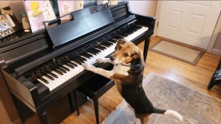 哟呵! 志向高远啊! 小猎犬, 这都学起弹钢琴来了, 这么上进啊!